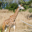 Giraffe in Africa.  Focus in the body. - Stock Photo