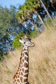 Giraffe (Giraffa camelopardalis) in South Africa — Stock Photo
