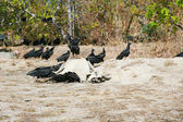 Dead cow getting eat by buzzards — Stockfoto