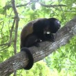 Black-headed spider monkey (Ateles fusciceps) eating banana perched on a tree — Stock Video