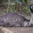 Emu getting ready to sleep — Vídeo Stock