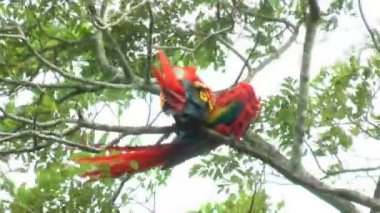 Two Scarlet Macaw walking and perched on a tree. It has suffered from local extinction through habitat destruction and capture for the parrot trade — Stock Video