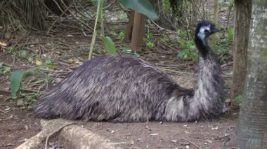 Emu getting ready to sleep