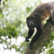 Spider monkey  — Foto de Stock
