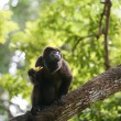 Ateles geoffroyi vellerosus Spider Monkey in Panama eating banan — Foto Stock