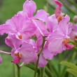 Vanda Teres pink orchids — Stock Photo