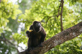 Ateles geoffroyi vellerosus Spider Monkey in Panama eating banan — Stockfoto