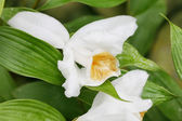 Macro shot of a Sobralia orchid. Sobralia is a genus of about 12 — Foto de Stock