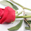 Macro shot of a withered red rose threw in the floor. Concept o — Stock Photo #39588433