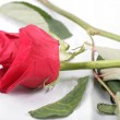 Macro shot of a withered red rose threw in the floor. Concept o — Stock Photo