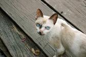 Gato com olhos azuis — Fotografia Stock