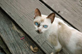 Kočka s modrýma očima — Stock fotografie