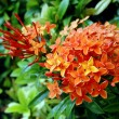 Stock Photo: Orange flowers (Asoka, Saraca Asoca )
