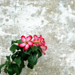 Red flowers on the stone wall — Stock Photo