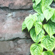 Stock Photo: Strands of green leaves on the wall