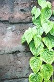Strands of green leaves on the wall — Stock Photo