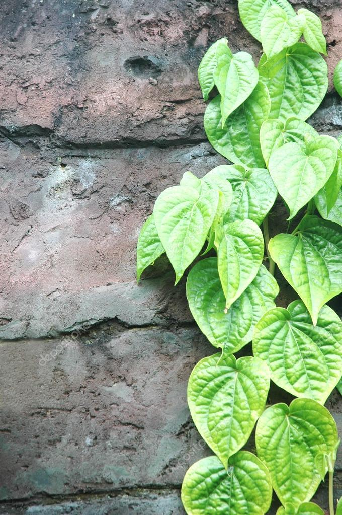 Strands of green leaves on the wall — Stock Photo #16184211