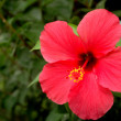 Red hibiscus (hibiscus rosa-sinensis) — Stock Photo
