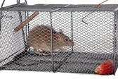 A rat in a metal trap — Fotografia Stock