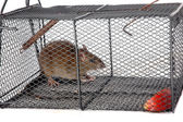 A rat in a metal trap — Stock Photo
