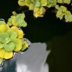 Pond plants — Stock Photo #30635011