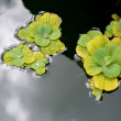 Pond plants — Stock Photo #30932353