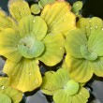 Pond plants — Stock Photo #30933789