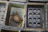 Pesca de caranguejo casca mole — Foto Stock