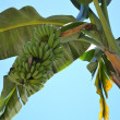 Banana trees — Stock Photo