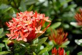 Orange flowers (Asoka, Saraca Asoca ) — Foto Stock