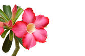 Cambodian Red Flowers (Plumeria rubra) — Stock Photo