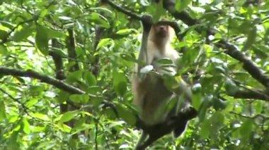 Proboscis monkey — Stock Video