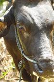 Cow eye — Stock Photo