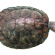 Brazilian turtle — Stock Photo #51080409