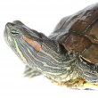 Brazilian turtle — Stock Photo #51080415