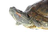 Brazilian turtle — Stock Photo