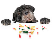 Dog and pills. — Stock Photo