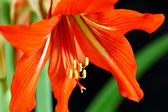 Amaryllis Flower — Foto Stock