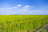 Rice Paddies Against the Blue Sky — Stockfoto