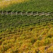 Vineyard near Montepulciano, Italy — Stock Photo