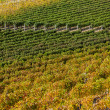 Vineyard near Montepulciano, Italy - Stock Photo
