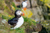 The puffin bird-the most beautiful animal on the iceland — Stock Photo