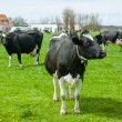 Royalty-Free Stock Photo: Dutch cows