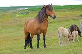 Islandský kůň — Stock fotografie
