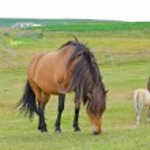 исландская лошадь — Стоковое фото #26000447