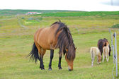 İzlanda at — Stok fotoğraf