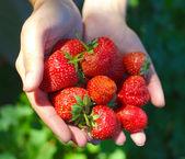 Ruce držící jahody — Stock fotografie
