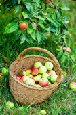 Apples in the basket. — Stock Photo