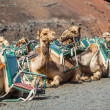 Camel in lanzarote in timanfaya ... — Stock Photo