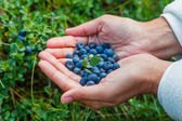 Wild ripe blueberry. — Stock Photo